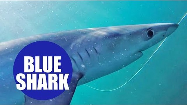 Blue sharks swimming off the UK's coast - and nibbling the camera