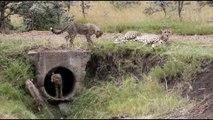 D'adorables bébés guépards jouent sous la pluie