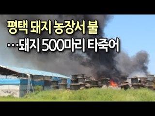 평택 돼지 농장서 불…돼지 500마리 타죽어 / 연합뉴스 (Yonhapnews)