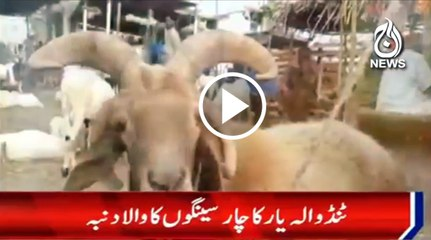 Unique sheep in Tando Allah yar
