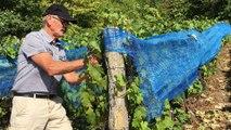 Vosges :  les vendanges vont bientôt débuter