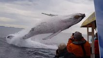 ¡Ballena salta fuera del agua a pocos metros de turistas!