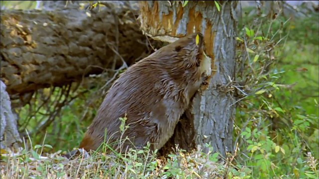 How Beavers Build Dams | Leave it to Beavers | PBS
