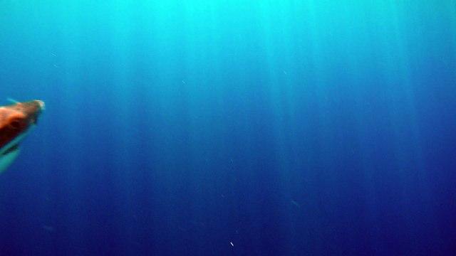 Great White Shark attacking bait full speed