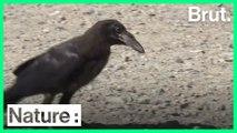 Au Puy du Fou, des corbeaux ramassent des détritus