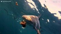 Dykker filmer haier som blir matet på nært hold