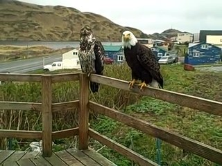 Mrs Eagle & A Juvenile Eagle On My Porch Today