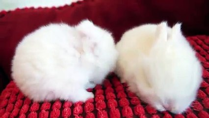 The Cutest White Baby Bunnies