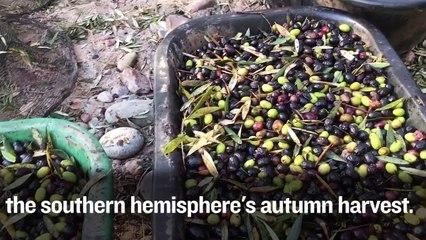 An Argentine Olive Harvest