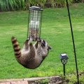 Raccoons just being Raccoons Follow Howlers for more!