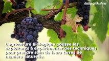 Ce viticulteur a remplacé ses pesticides par des moutons, et ça marche !