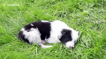 This adorable border collie puppy was born with TWO noses - making him twice as cute