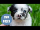 Adorable border collie puppy was born with two noses