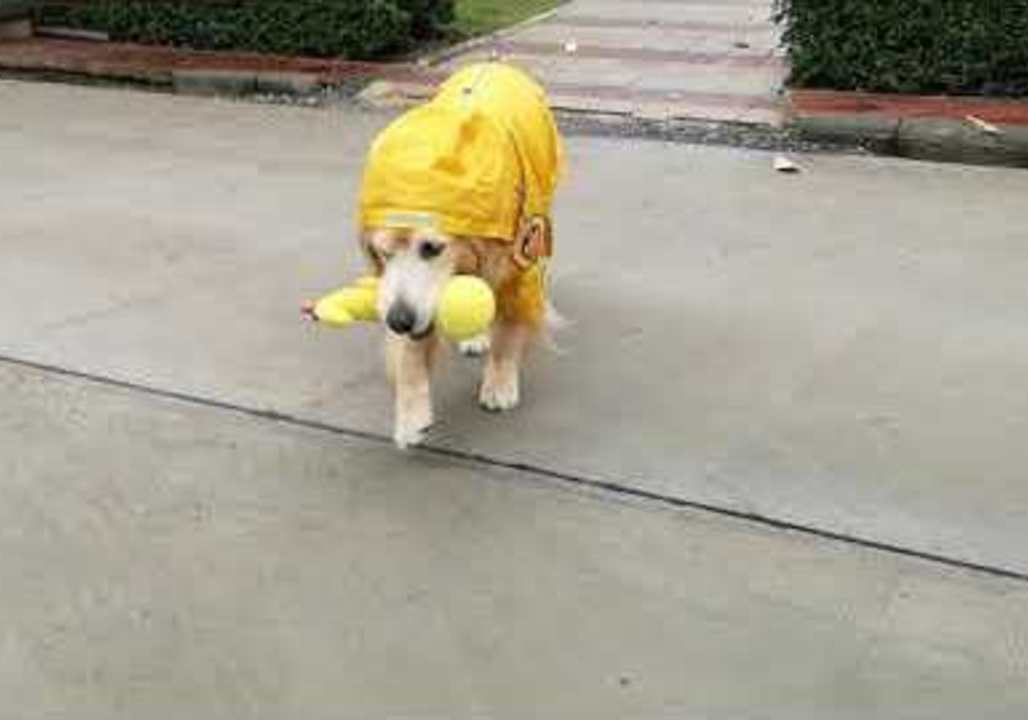 Dog Dons Raincoat and Plays With Rubber Duck … and They Were All Yellow
