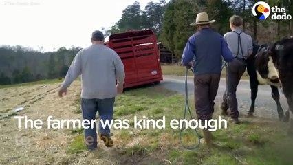 La vache n'arrêtait pas de pleurer jusqu'à ce qu'un homme ouvre grand les portes du camion