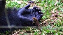 La réaction de ce gorille qui rencontre un minuscule nouvel ami est la chose la plus mignonne que vous verrez aujourd'hui