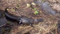 Rencontre avec les alligators aux Everglades en Floride