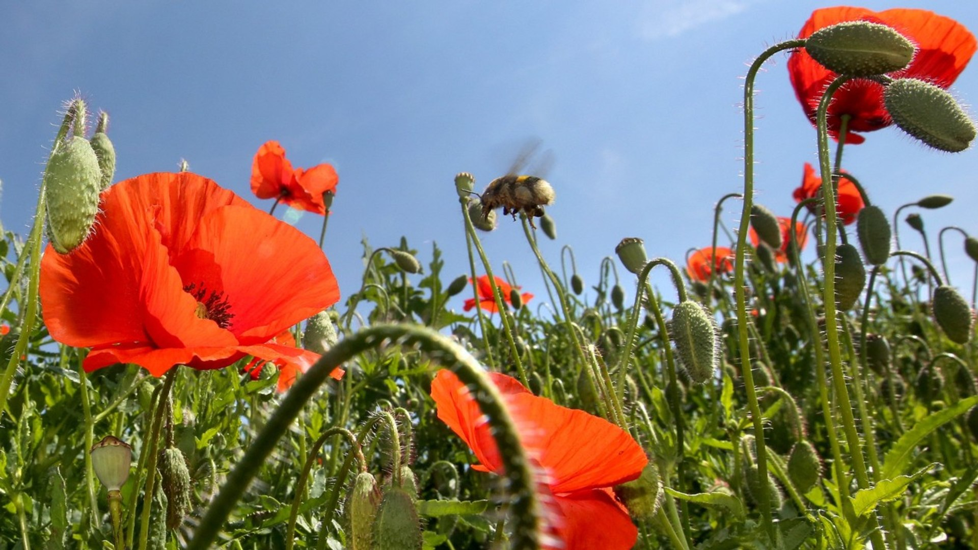 Science Reveals How Poppies Got So Darn Good At Producing Painkillers