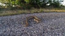 Ne jamais provoquer un serpent à sonnettes.