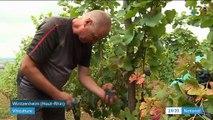 Viticulture : des vendanges en avance