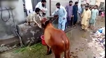 Un taureau devient fou et charge des hommes qui le lavent !