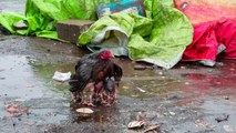 Mother Hen Shelters Her Chicks in the Rain