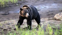 Hunting Grizzly Bears Banned In Wyoming And Idaho
