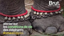 """""""Un éléphant dressé est toujours un éléphant maltraité"""" : le calvaire des éléphants dressés pour les touristes"""
