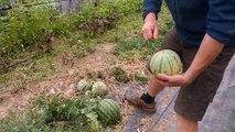 Anthisnes: des pastèques cultivées à Hody