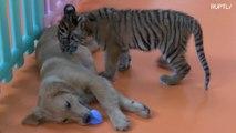 Filhotes de Golden Retriever brincam com filhotes de tigre e leão no Zoo de Pequim