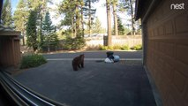 Nest cam catches bear stealing trash and brazenly walking away with it – then coming back for more