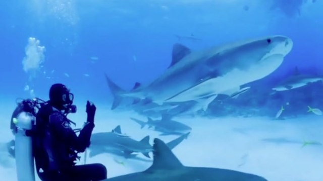 Swimming With Tiger Sharks