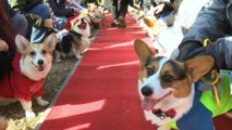 Cute emergency! 150 corgis gather at playground to compete in Dog Olympics