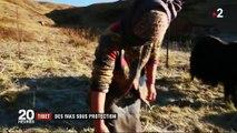 Tibet : les yaks sont désormais assurés