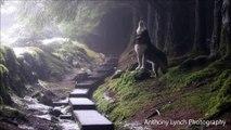 Ce chien-loup qui hurle à la chute des premières neige est magnifique