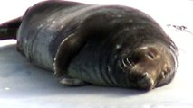 Jeux de phoques gris et phoques veaux marins