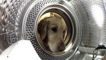 Ce chien vient chercher son doudou dans la machine à laver
