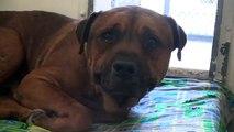 Ce chien pleure après s'être rendu compte qu'il a été abandonné au refuge pour animaux