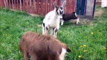 [PETS FOR KIDS] Try Not To Laugh Animals Cute - Funny Goat Fail Compilation April 2018