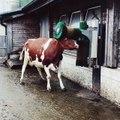 Une vache se frotte la tête contre une brosse rotative