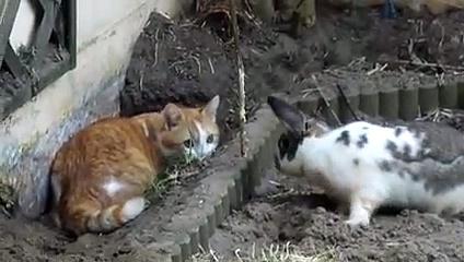 Cat Vs Rabbits