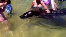 Ce lion de mer sauvage vient jouer avec les touristes... Adorable