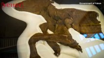 Mummified ice age wolf pup, caribou still covered with fur found by gold miners