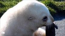 Cette petite otarie albinos est adorable