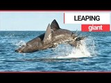Basking shark filmed leaping out of the water off the Irish coast | SWNS TV