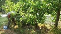 De désarroi cet arboriculteur a arraché quatres hectares d'arbres fruitiers