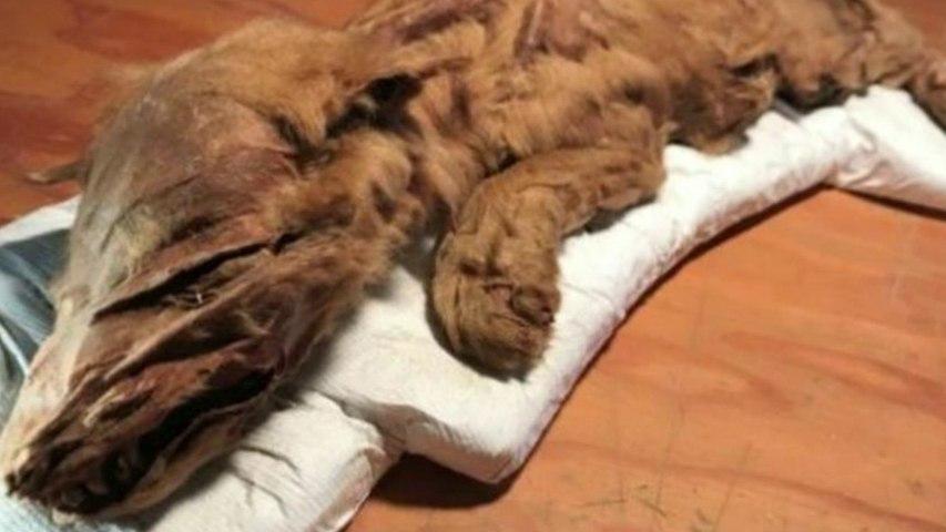 Edad del Hielo! Muestran extraordinarias momias de un cachorro de lobo y un caribú de 50.000 años