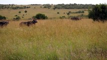 Masai Mara Kenya Africa Hungry Loin on Hunting mode & buffalo sense the lion