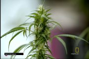 Cap2 EXPLORED INVESTIGATION(marihuna medicinal)