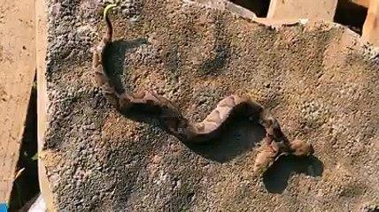 Elle trouve un serpent à deux têtes dans son jardin